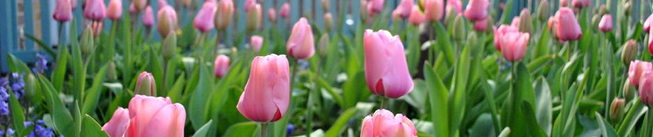 front-garden-tulips-2